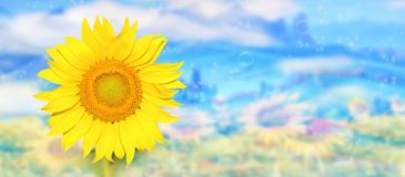 Sikt av solrosor i soligt väder arkivfoton