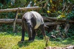 Sikt av tapir Royaltyfri Fotografi