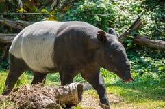 Sikt av tapir Royaltyfri Foto