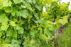 Sikt av tidiga druvor för en vår i en vingård Royaltyfria Bilder