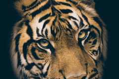 Sikt av tigern Royaltyfria Foton