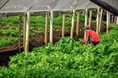 Sikt av växthuset med en bonde som ansar grönsaker nära staden av Joanà ³polis Arkivbild