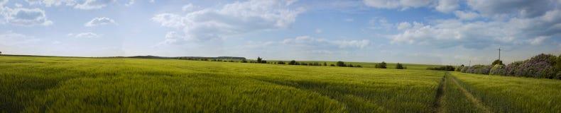 Sikt av vetefältet Royaltyfri Bild