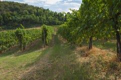 Sikt av vingårdar från Euganean kullar, Italien under sommar Arkivfoto
