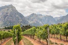 Sikt av vingårdar nära Stellenbosch Arkivfoto