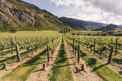 Sikt av vingårdarna i den nyazeeländska södra ön för ` s Royaltyfria Foton
