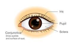 Sikt för anatomi för mänskligt öga främst vektor illustrationer