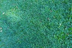 Sikt för bakgrund för grönt gräs för natur bästa, ny vårgräsplan med blommor Fotografering för Bildbyråer