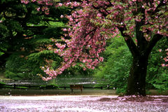 sikt för blomningCherrymagi Arkivfoto