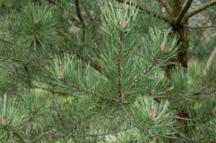 sikt för detalj för granträd Arkivbild