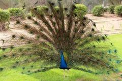 Sikt för djurliv för påfågel svans upplöst ovanlig Royaltyfria Bilder
