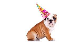 sikt för engelsk sida för bulldogg sittande royaltyfria bilder
