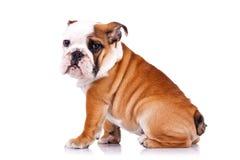 sikt för engelsk sida för bulldogg sittande fotografering för bildbyråer