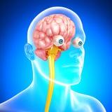 Sikt för främre sida av det male skelett med hjärnan royaltyfri illustrationer