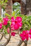 Sikt för Frangipaniblomma (Plumeria) Arkivfoto