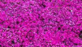 Sikt för Fuji rosa mossabakgrund Arkivfoto