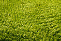 sikt för guld- paddy för fält övre Royaltyfri Fotografi
