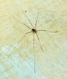 Sikt för hög vinkel på den lilla spindeln med mycket långa ben som sitter på väggen Royaltyfri Bild