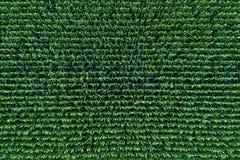 Sikt för havrefält från över arkivbild
