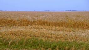 Sikt för horisont för landskap för afton för höst för vetefält Plats av naturen Guld- vetesugrör och blå himmel härligt Royaltyfri Foto