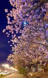 sikt för japansk natt för blomningCherry stads- Royaltyfri Bild