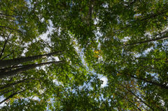 Sikt för kastanjebrunt träd direkt under, Basilicata, Italien Royaltyfria Bilder