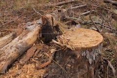 Sikt för låg vinkel av den nytt klippta trädstubben Royaltyfria Bilder