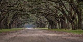 Sikt för låg vinkel av Live Oak Trees arkivbilder