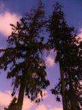 Sikt för låg vinkel av två högväxta träd och färgrika molniga himlar på skymning arkivbild