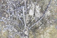 Sikt för låg vinkel in i silverbjörkträd Royaltyfria Bilder