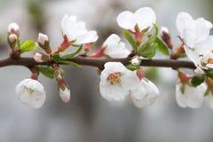 Sikt för makro för vita blommor för vårträdfilial mjuk fokusNanking körsbär, Prunustomentosa lövfällande buskemakrosikt royaltyfria bilder