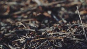 sikt för makro 4k av en koloni av myror på rede i skog, som de söker efter föda att arbeta tillsammans Solnedgångnärbildsko