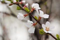 Sikt för makro för vita blommor för vårträdfilial mjuk fokusNanking körsbär, Prunustomentosa lövfällande buskemakrosikt arkivbild