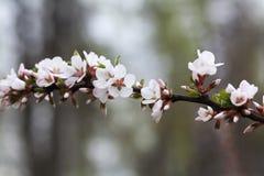 Sikt för makro för vita blommor för vårträdfilial mjuk fokusNanking körsbär, Prunustomentosa lövfällande buskemakrosikt royaltyfri fotografi