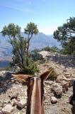 Sikt för mula` s på den södra kanten av Grand Canyon arkivbilder