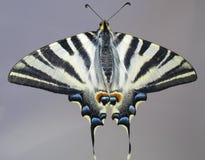 sikt för papilio för fjärilsmachaon samlad Arkivbilder
