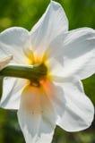 Sikt för pingstliljapoeticusbaksida Arkivfoton