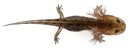 sikt för salamander för larva för vinkelbrand hög royaltyfri foto