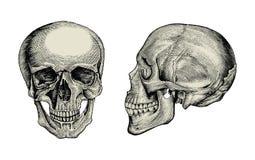 Sikt för tappning för teckning för anatomiskallehand sido och främre, av mummel vektor illustrationer