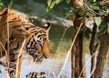 Sikt för tigersultanslut Royaltyfria Bilder