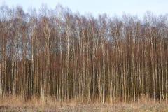 Sikt för vårhöstpanorama av den bruna landscapen för skog för björkträd royaltyfri fotografi