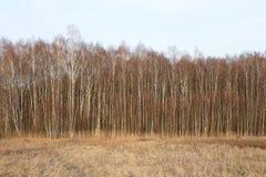 Sikt för vårhöstpanorama av den bruna landscapen för skog för björkträd Arkivfoto