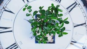 sikt från över, närbild Ett grönt bonsaiträd roterar på visartavlan av en stor klocka En idé för ett tema om tid och stock video