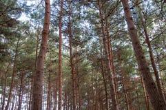 Sikt från botten av pinjeskogen Arkivbilder