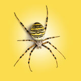 Sikt från den övre höjdpunkten av en Wasp spindel, Argiopebruennichi, på en yel Royaltyfri Fotografi