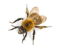 Sikt från den övre höjdpunkten av ett europeiskt honungbi, Apismellifera royaltyfri foto