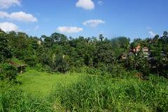 Sikt från en gå på risfält i Bali med palmträd Arkivbild