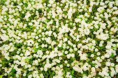 Sikt från ovannämnt av vita blommande maskrosor i fält i sommardag Royaltyfri Bild