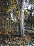 Sikt för naturskogträd norr Finland Arkivfoton