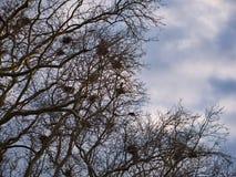Sikt in i en treetop med talrika reden arkivbild